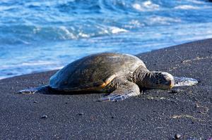 See Punaluʻu Beach, Big Island, Hawaii