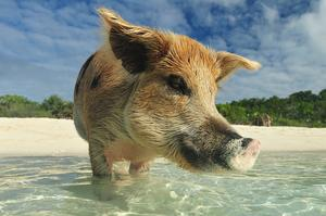 Swim with Pigs on Big Major Spot Cay (Pig Island), Bahamas