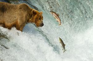 See Brown Bears Fishing for Salmon, Brooks Falls, Katmai NP, Alaska