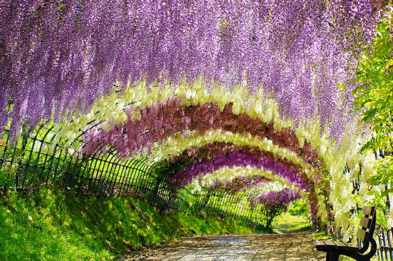Walk through wisteria tunnel at kawachi fuji garden Wisteria flower tunnel path in japan
