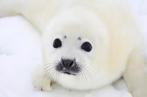 See a Baby Harp Seal in the Wild
